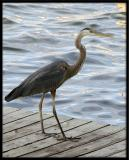 Blue Heron on Dock