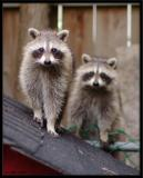 Baby Racoons 2