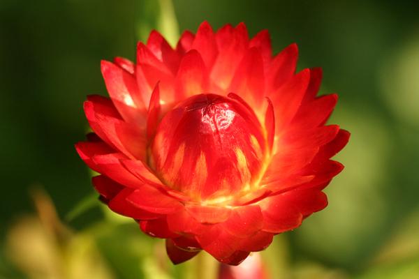 strawflower1.JPG