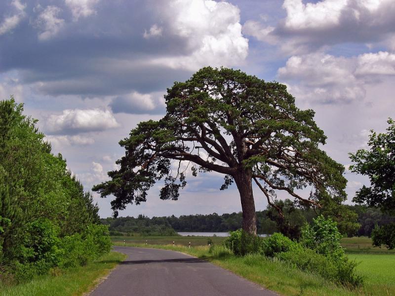 Hoary Pine