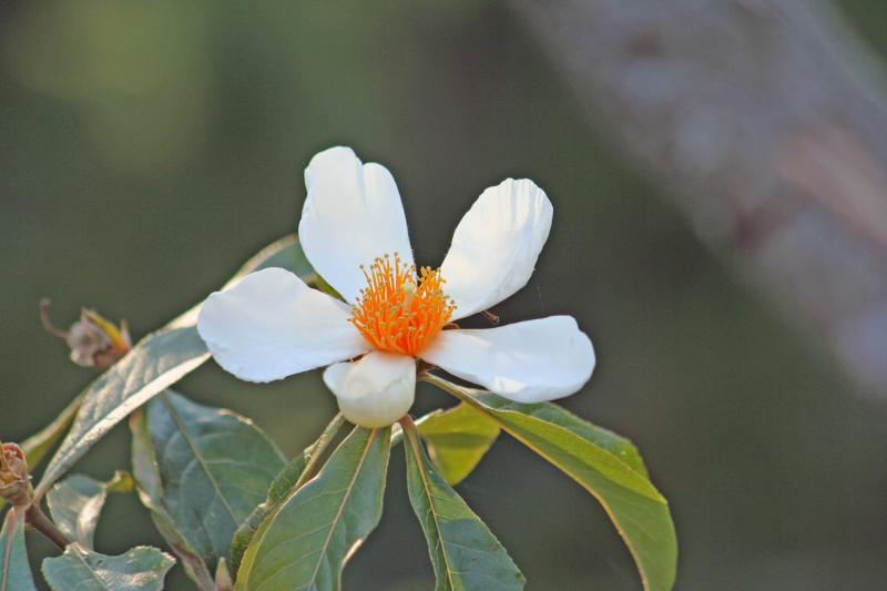 The Endangered Franklinia: Seeking A Special Person For Its Care & Nurturing.