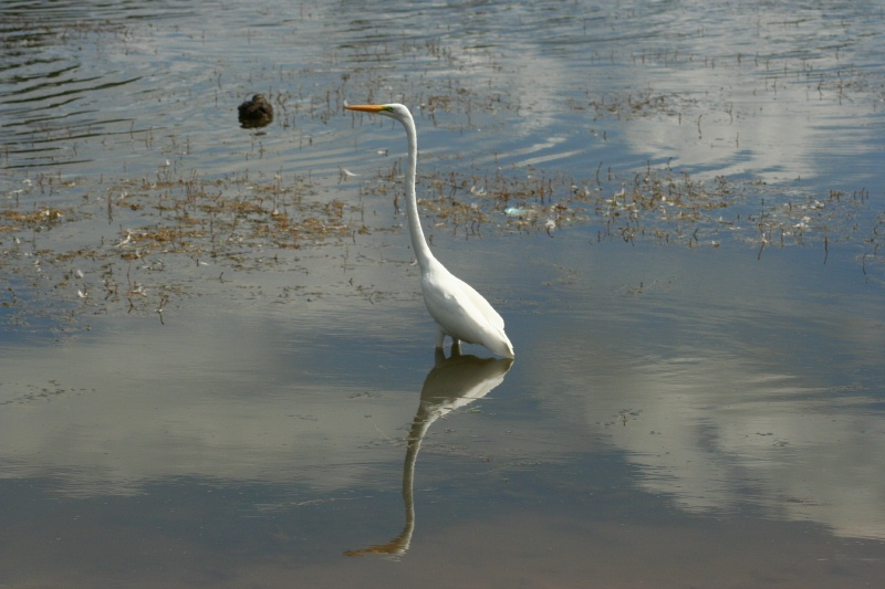 Great Egret reflection and duck