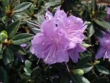 Mini Leaf Rhododendron
