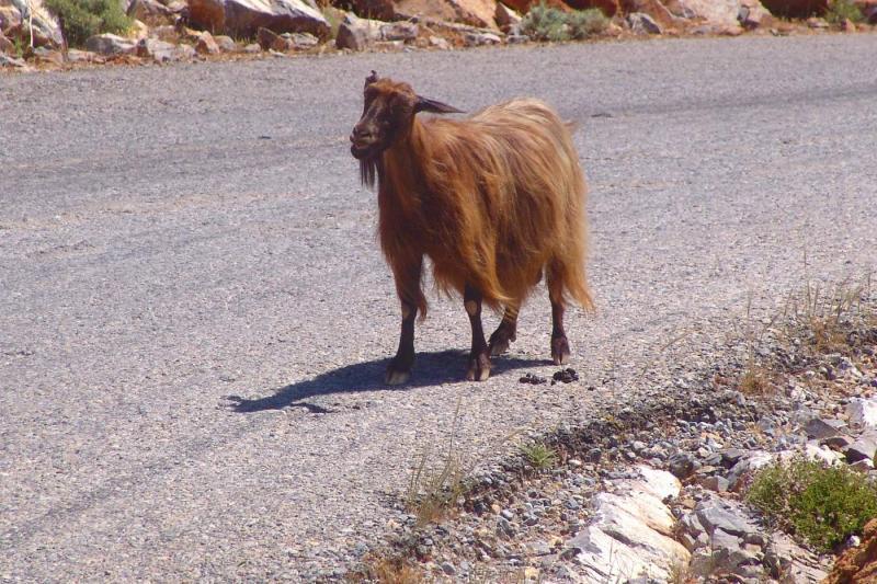 Mountain goat on road