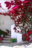 Huge bougainville