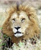 Male Lion, Tanzania