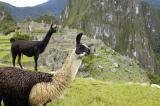 Lamas, Machu Picchu Peru