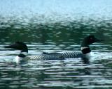 2005_0710_loons