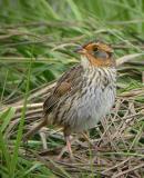 Saltmarsh Sparrow