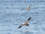 Long-tailed Jaeger harassing Greater Shearwater
