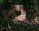 HJ2K7466 Roseate Spoonbill feeding