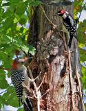 Male Downy and Red-bellied Woodpeckers