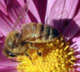 Bee Macro_MG_2620.jpg