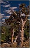 Bristlecone on Mt. Evans