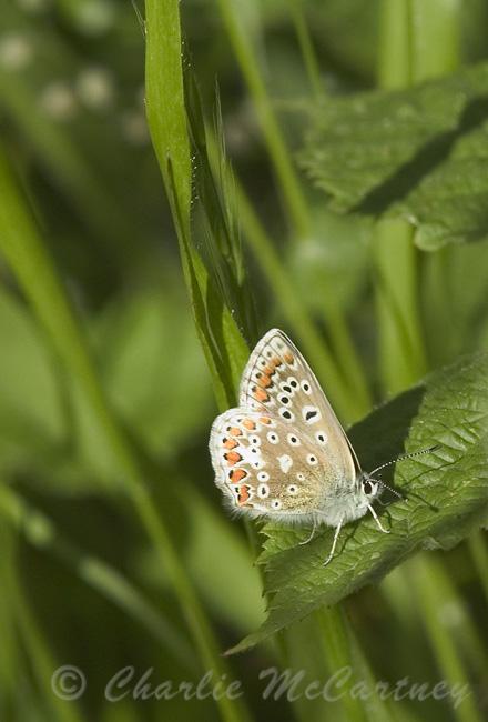 Common Blue - DSC_4875.jpg