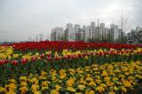 Tulips with Apartments in Backgroup