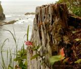 Sea, Salal, & Stump