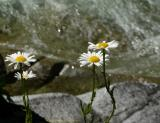 Daisies and Whitewater