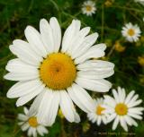 A Surprise of Daisies