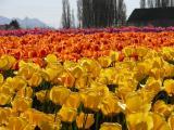 Depth of [tulip] Field