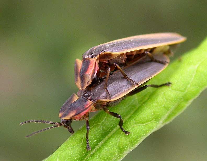 fireflies - pair mating