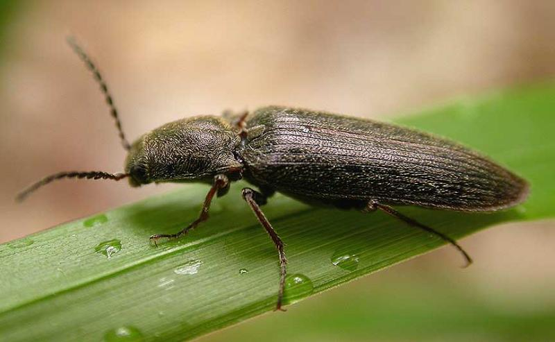 Click beetle -- side view -- ID unknown