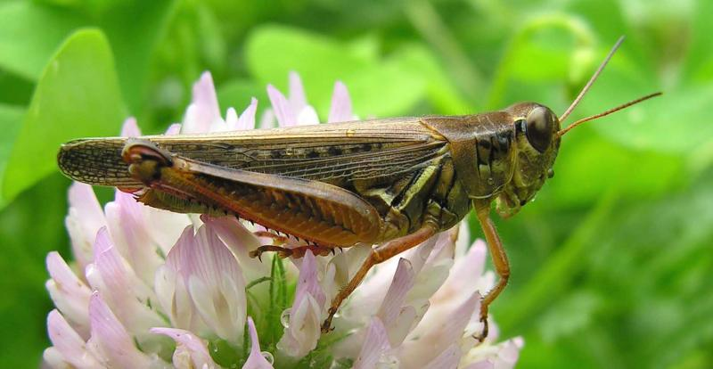 spurthroated grasshopper (?) -- <i>Melanoplus species</i> - large version