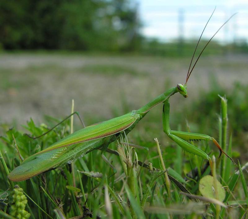 mantis-1-larger.jpg