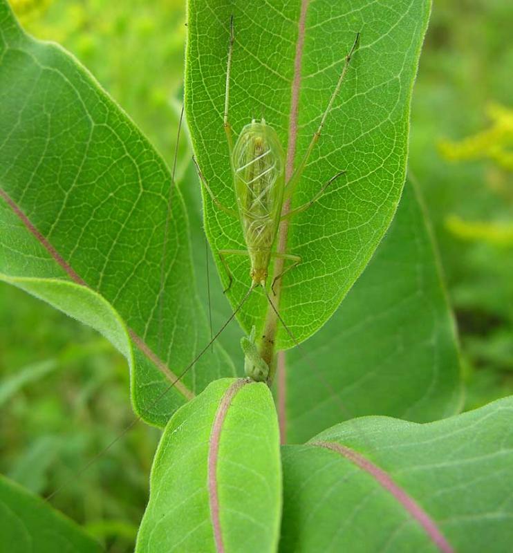 Tree Cricket on milkweed leaf - 1