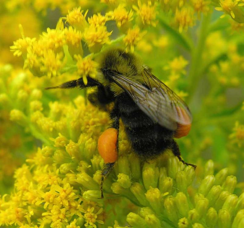 Bumblebee with pollen -- view 3