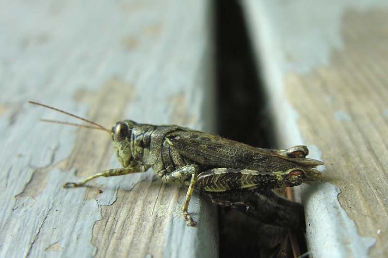 Pinetree Spurthroated Grasshopper - <i>Melanoplus punctulatus </i> -- laying eggs