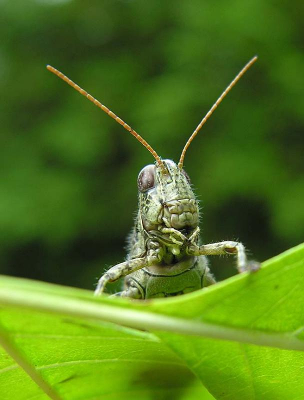 Pinetree Spurthroated Grasshopper - <i>Melanoplus punctulatus </i>
