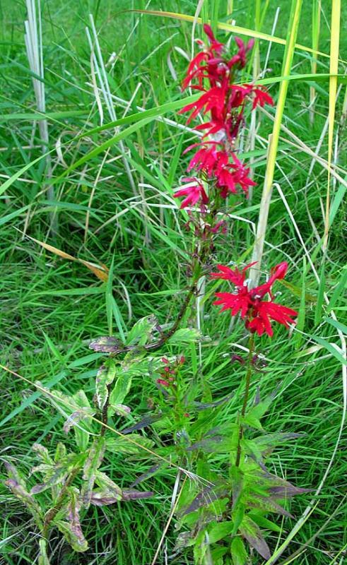 Cardinal flower - <i>Lobelia cardinalis</i>