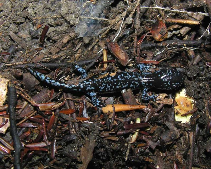 <i>Ambystoma laterale</i>  -- Blue-spotted Salamander