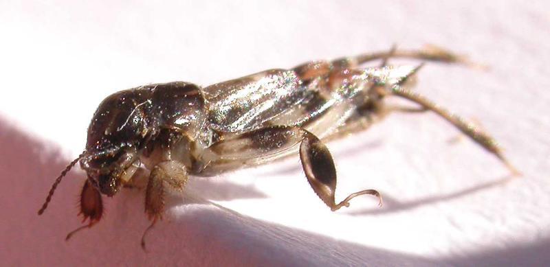Neotridactylus apicalis (Mole-cricket) - side