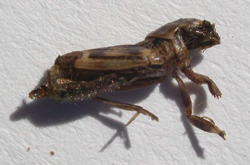 Neotridactylus apicalis (Mole-cricket) - found dead