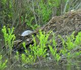 Turtle laying eggs on muskrat lodge