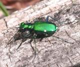 Six-spotted Green Tiger Beetle -- Cicindela sexguttata