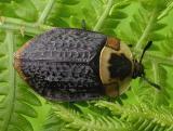 Nicrophila americana - American carrion beetle