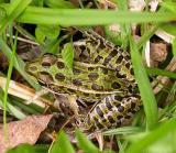 Leopard frog -- Rana pipiens