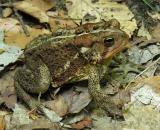 American Toad -- Bufo americanus - view 2