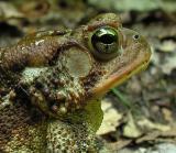 American Toad -- Bufo americanus - head detail
