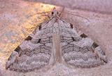 Aplocera plagiata - 7627 - Treble-bar Moth