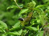 Common Yellowthroat warbler - 1