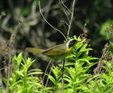 Common Yellowthroat warbler - 2