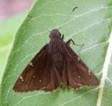 Northern Cloudywing Skipper -- Thorybes pylades