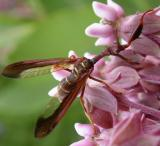 Climaciella brunnea - Brown Mantidfly