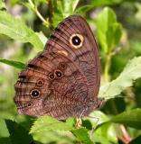 Common Wood-Nymph -- Cercyonis pegala nephele