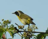 common-yellowthroat-1.jpg