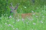 White-tailed deer -- Odocoileus virginianus